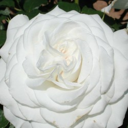 Rose  ANNAPURNA (Dorblan)