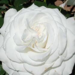 Роза ANNAPURNA (Dorblan)