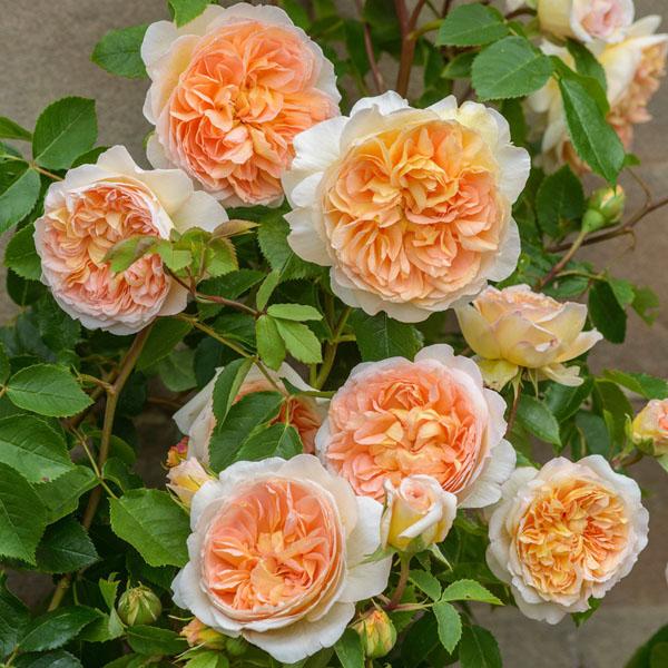 Роза BATHSHEBA (Auschimbley)