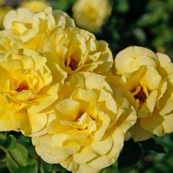 Щамбова роза FRIESIA