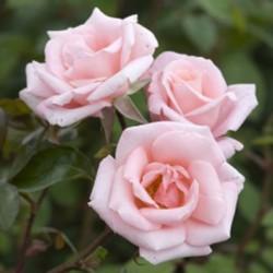 Роза HIGH HOPES