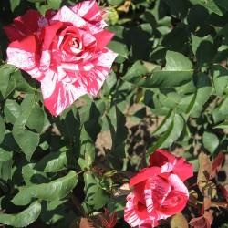 Роза IMAGINE