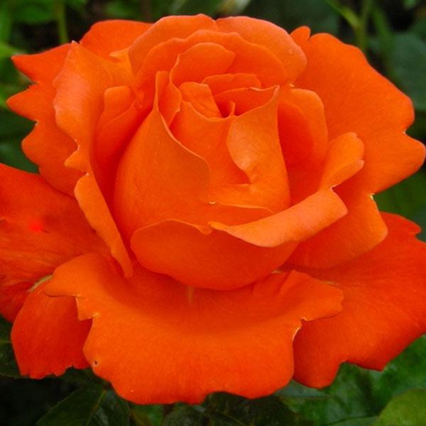 Роза JORO