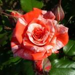 Роза PHILATELIE