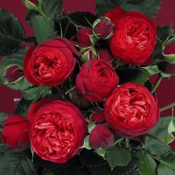 Роза PIANO