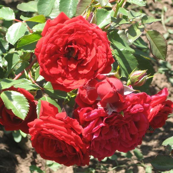 Роза POPULAIR