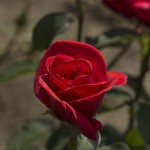 Rose  ROTER STERN