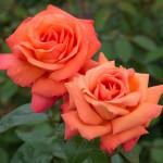 Роза TROIKA