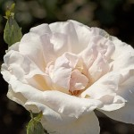Rose WHITE QUEEN ELIZABETH